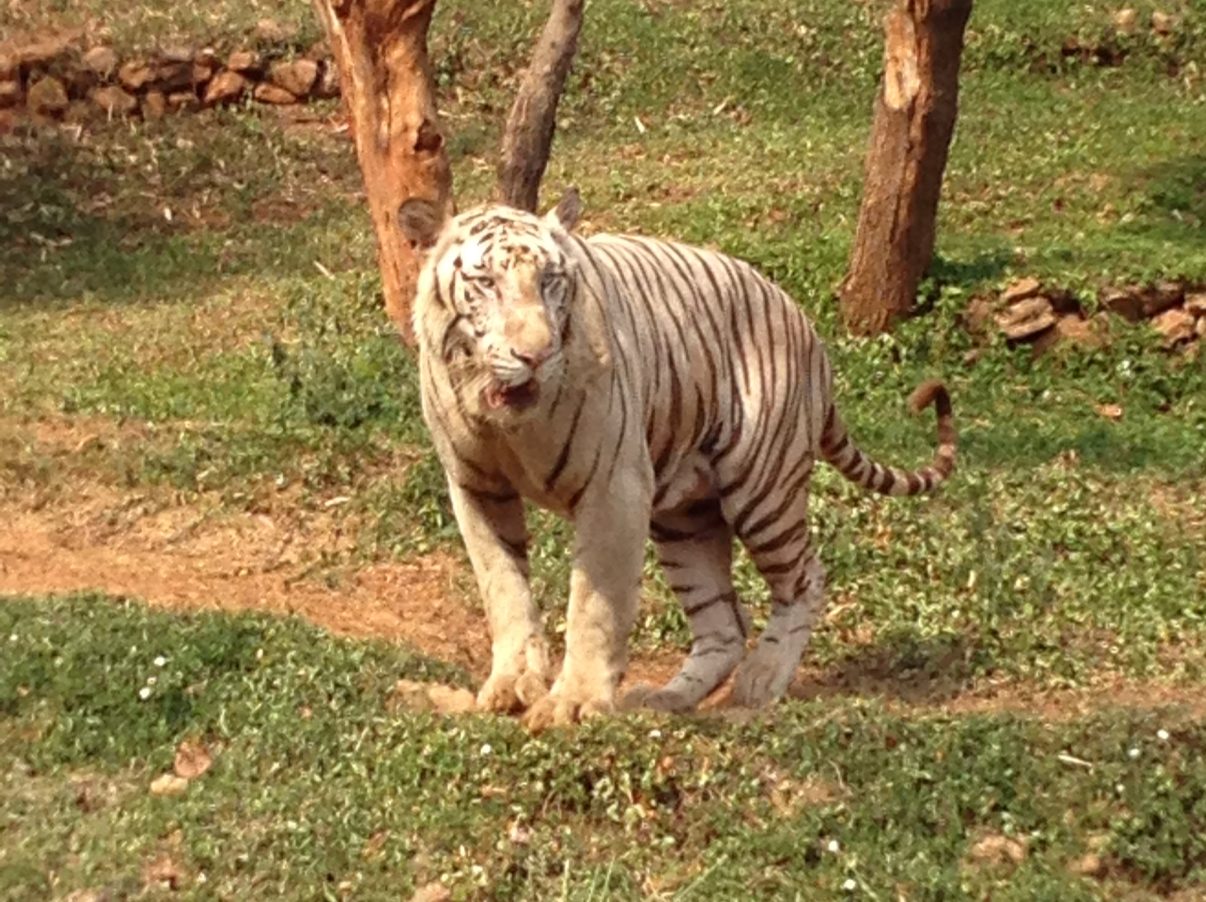 2016 White Tiger Vizag