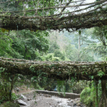 The Living Root Bridges of Cherrapunjee